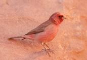 Jordan's national bird