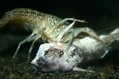 Lobster feeding