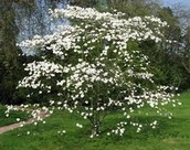 Flower/Tree- Flowering Dogwood