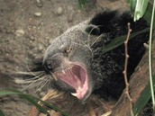 Don't Mess with the Binturongs!