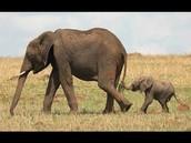 Adult Elephant with a baby Elephant.