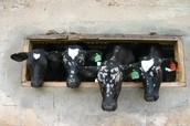פרות ברפת של רמת הכובש