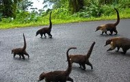 The Ring-tailed coatis