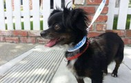Sky Beauty -- 5 year old Chihuahua/Spaniel -- 6 lbs