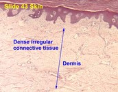 Dermis of the skin