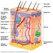 The Function of The Integumentary System