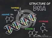 What is the structure of DNA?
