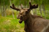 A moose