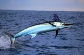 About the Swordfish