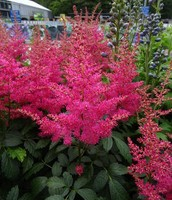 Astilbe and Shade Garden Flowers