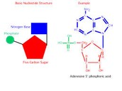 1 Nucleotides