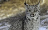 Gray Lynx