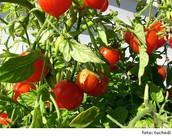Como cuidar a mi Tomate Cherry