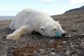 How the climate is affecting these bears!