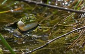 Frog (Anura)
