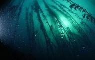 Kelp (Laminariales)