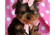Bows are a cute accsesory for this little pet.