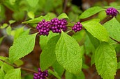 American  Beautyberry