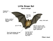 Little Brown Bat Diagram
