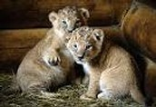 welcome our new cubs