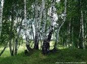 National Tree