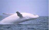 ablbino whale