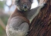 How does a koala live?