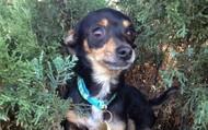 Teton -- 2 year old Chihuahua -- 5 lbs