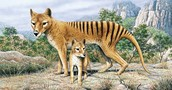 Tasmanian Tiger with their young
