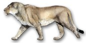 The Panthera Leo Atrox is an extinct lion of the family and has been existing for about 0.33 million years.