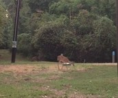 White Tail Deer by our Campsite