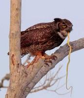 owls eat snakes