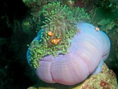 Sea Anemones and Coral
