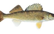 The Walleye