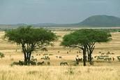 Sahelian Acacia Savanna a semi-arid Savanna. t is located in north Africa.