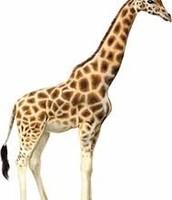 Mark the Giraffe