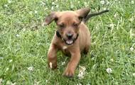 Redbone Puppy