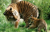 tiger with the cub