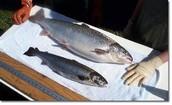 AquaAdvantage salmon (R)