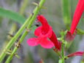 Red Salvia Blossoms