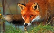 Stephan the fox