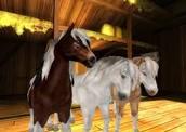 Icelandic Horse Gallery
