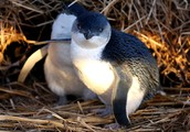 Fairy penguins are flightless native Australian birds.