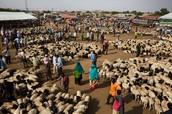 Sheep Export