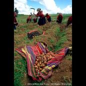 Inca Potato Harvesting