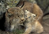 About the Lynx's diet and habbitat.