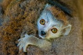 Brown Lemur: Sonservation Status has been Improved by Intervention