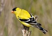 New Jersey State Bird:Eastern Goldfinch