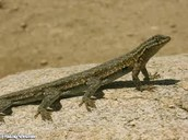 Short Legged Lizard