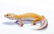 Geckos-Leopardo (Eublepharis mascularis)